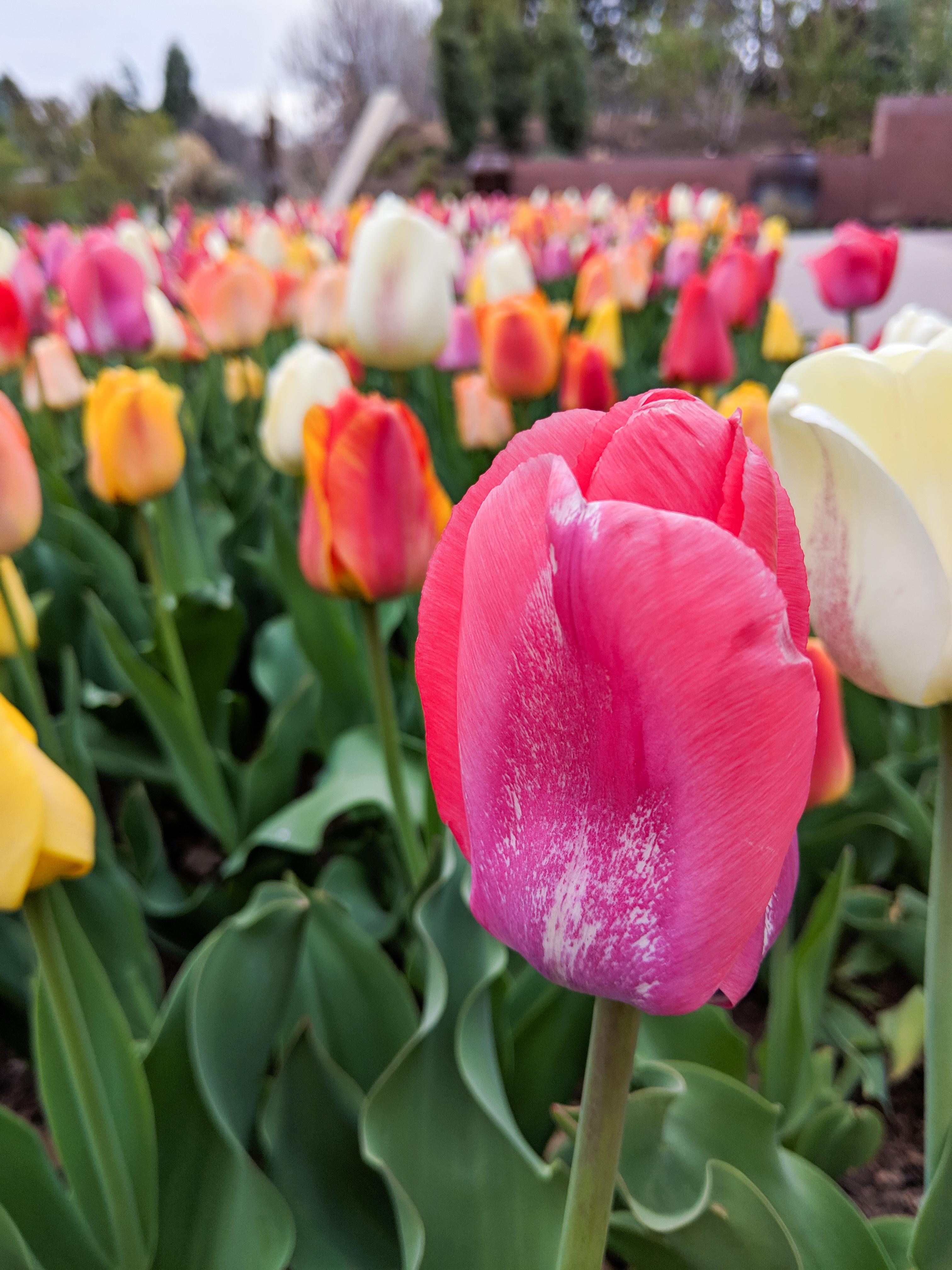 tulips, spring, Denver Botanic Gardens