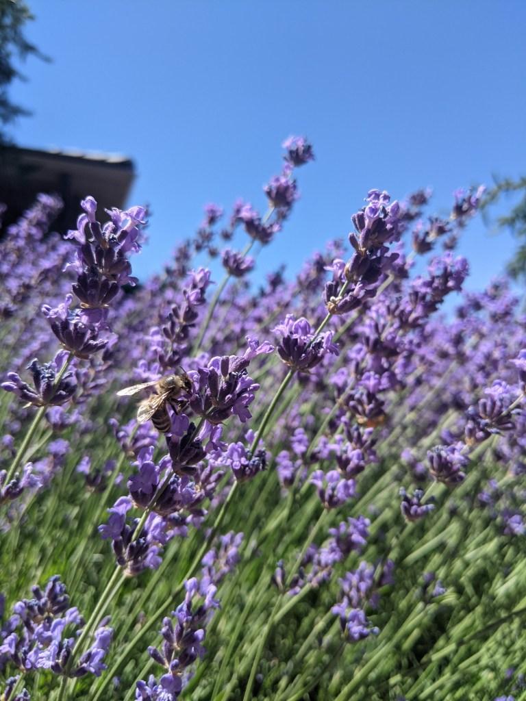 weekly-recap-lavender-bee-artsy-shot